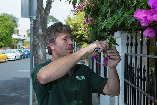 A gardener maintaining a blossomed tree