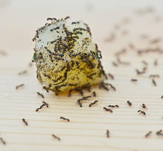 Ants Infestation